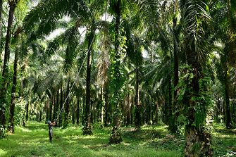 Sustainable palmoil plantation in Honduras
